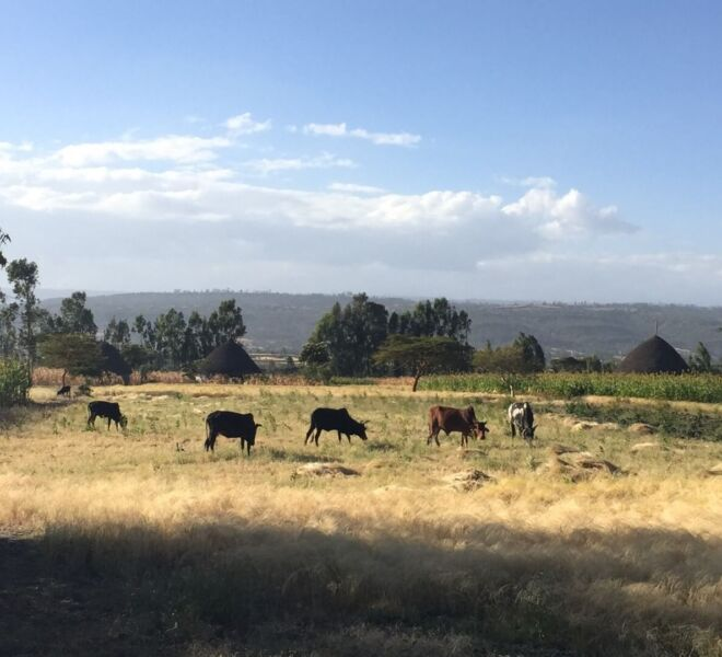 Foto 6 - IMG_3447 bis mucche al pascolo